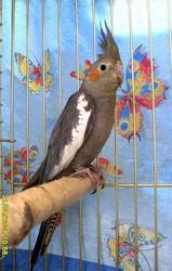 Птинец попугая корелла (нимфа).