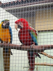 Ары – зеленокрылые,  сине-желтые,  разводные пары