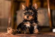 Йоркширский терьер щеночки продам