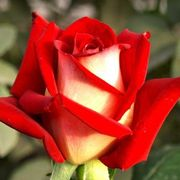 Саженцы роз из частной коллекции