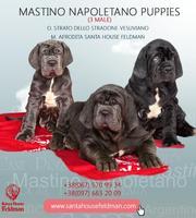 Продаются щенки Мастино Наполетано от Santa House Feldman