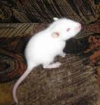 Продам домашних ручных крысят