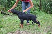 Подрощенный щенок ротвейлера