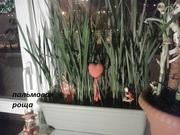 саженцы пальмы