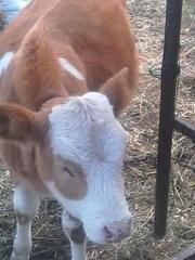 продам телку на корову красная степная 5 месяцев