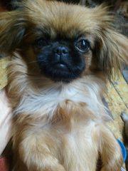 Продам породистые щенки пекинеса в Харькове - щенок  девочка