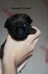 Щенки гриффона -маленькой собачки