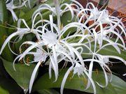 Продам белую лилию