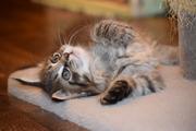 Продам котят не только красивых, но  и умных!