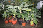 Продам саженцы Банана (комнатное растение) и много других растений