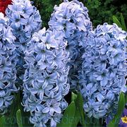 Продам саженцы Гиацинта и мПроного других растений (опт от 1000 грн)