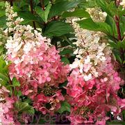 Продам саженцы Гартензии и много других растений (опт от 1000 грн)