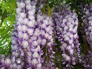 Продам саженцы Глицинии и много других растений (опт от 1000 грн)