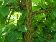 Продам саженцы Береста и много других растений (опт от 1000 грн)