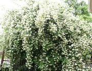 Продам саженцы Жасмина и много других растений (опт от 1000 грн).