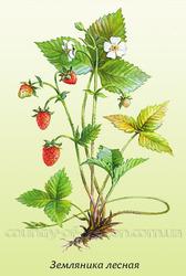 Продам саженцы Земляники и много других растений (опт от 1000 грн).