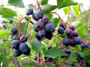 Продам саженцы Ирги и много других растений (опт от 1000 грн).
