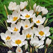 Продам луковицы Крокуса Ботанического и много других растений.