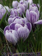 Продам луковицы Крокуса Крупноцветкового и много других растений.