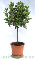 Продам комнатное растение Лавр и много других растений.