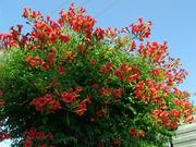 Продам корни Кампсиса имного других растений (опт от 1000 грн).