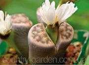 Эсклюзив цветущие камни Литопс от 70 - 120 грн и много других растений