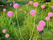 Продам луковицы Луки Раннецветущие и много других растений.