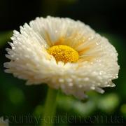 Продаем мега красивенные цветы Маргаритки Белые
