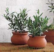 Продам Маслину в горшках,  комнатное растение и много других растений