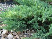 Продаем хвойные в ассортимете и много других растений (опт от 1000 гр)