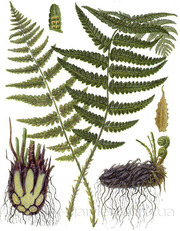 Продам Папоротник (Щитовник мужской) и много других растений.
