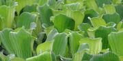 Продам Пистию,  водное растение и много других растений.