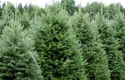 Продам Пихту (хвойное) и много других растений (опт от 1000 грн).