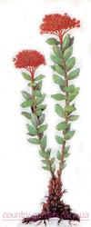 Продам Радиолу Розовую (Золотой Корень) и много других растений.