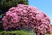 Продам саженцы Рододендронов и много других растений (опт от 1000 грн)