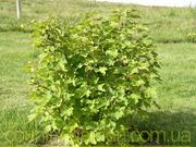 Продам саженцы Смородины и много других растений (опт от 1000 грн)