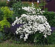 Продам саженцы Спиреи и много других растений (опт от 1000 грн).