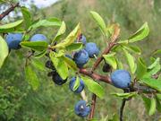 Продам саженцы Терна и много других растений (опт от 1000 грн).