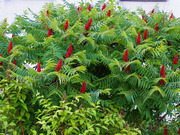 Продам саженцы Уксусного дерева (Сумаха Пушистого Оленерогого) и много