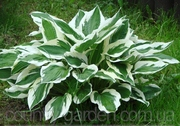 Продам саженцы Хосты - царицы теней и много других растений.