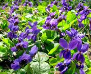 Продам деленки Фиалки Лесной и много других растений (опт от 1000 грн)