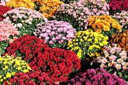 Продам Хризантемы и много других растений (опт от 1000 грн).