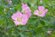 Продам саженцы Шиповника обыкновенного и много других растений.