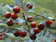 Продам саженцы Шпанки и много других растений (опт от 1000 грн).