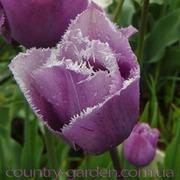 Продам луковицы Тюльпанов Бахромчатых и много других растений.