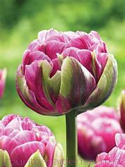 Продам луковицы Тюльпанов Махровых и много других растений.