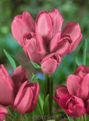 Продам луковицы Тюльпанов Мультифлора и много других растений