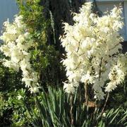 Продам уличный кактус с красивыми колокольчатими цветами ЮКА (Yucca).