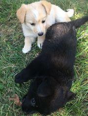 Щенки от мелкой дворовой собачки