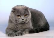 ВЯЗКА с голубым вислоухим котом.